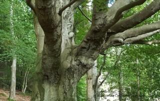 Delamont Tree