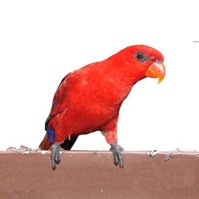 Inner Parrot